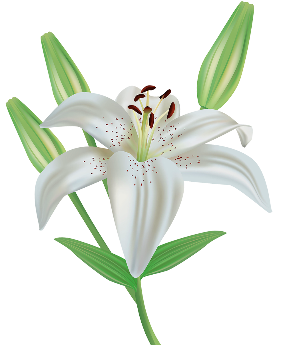 Lily flower png. Clipart image gallery yopriceville