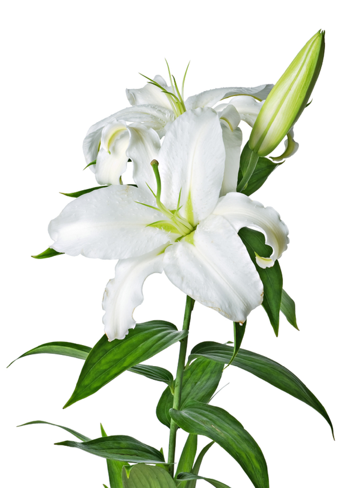Easter lily garland png. Image mart