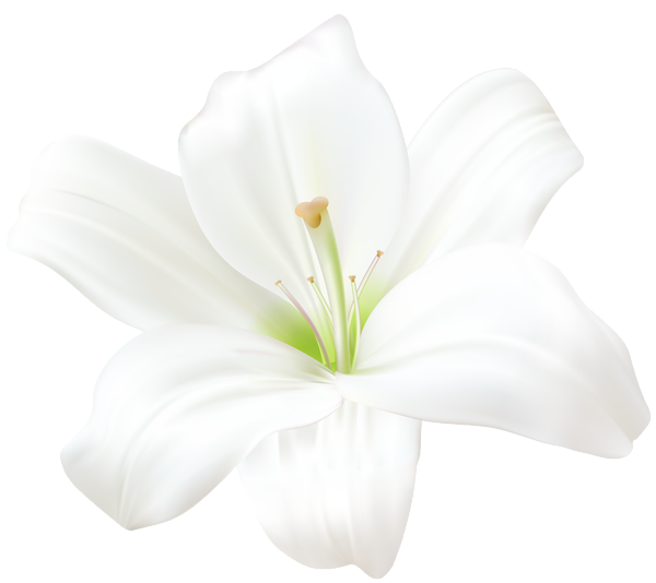Lily transparent white. Png clip art image