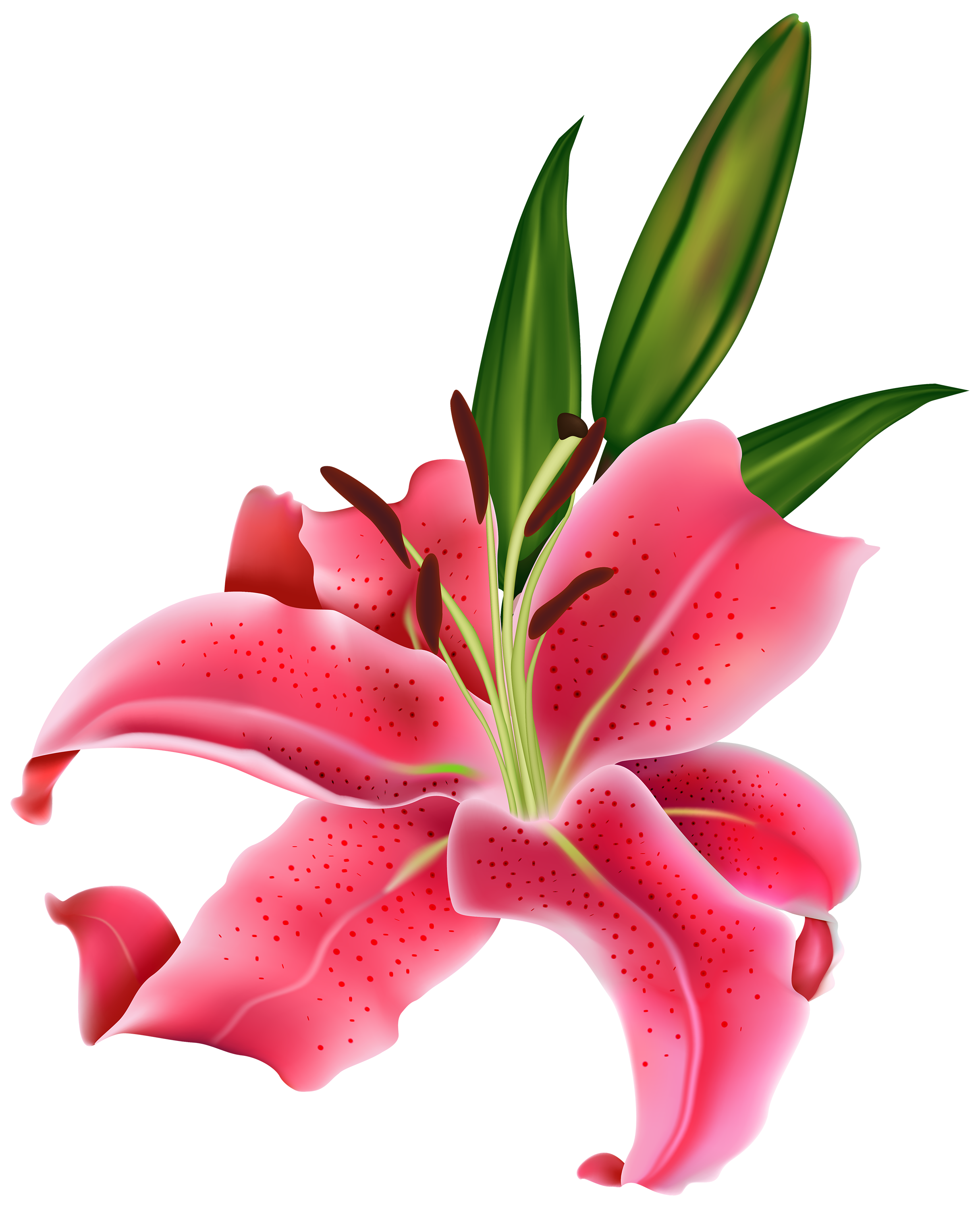 Lily transparent pink. Flower png clipart best