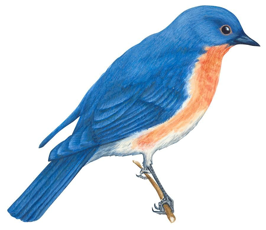 Eastern bluebird. Drawing by anonymous