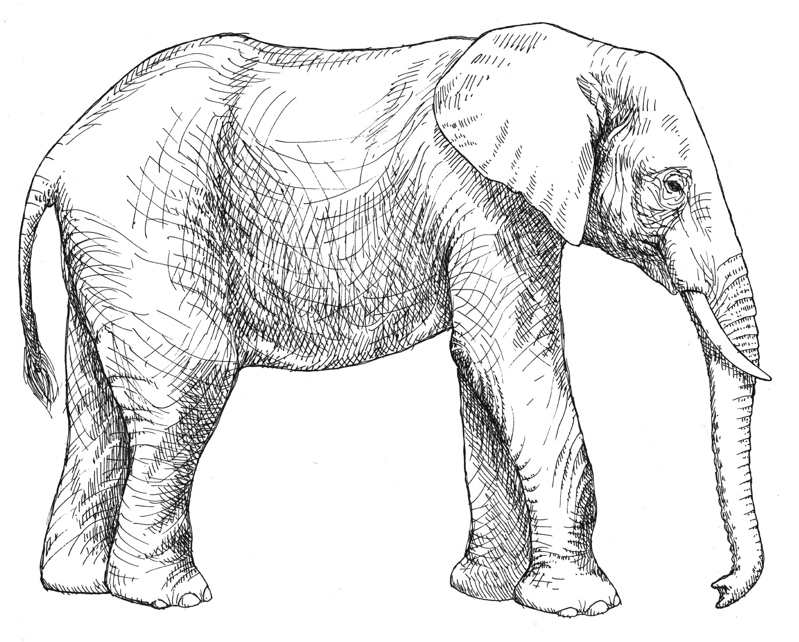 Elephant clip art realistic. African coloring pages get