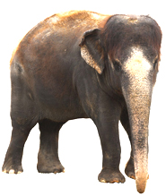 Facts how many species. Elephant clip art realistic png library download