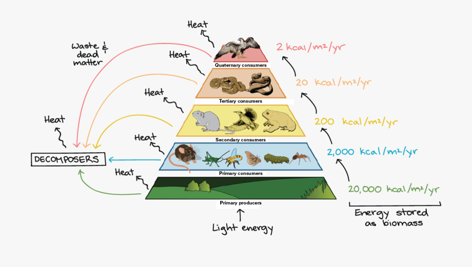 Energy transfer. Trophic pyramid illustrating the