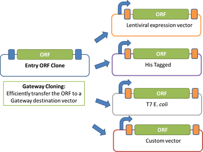 Gateway vector expression. Orfeome clone collections