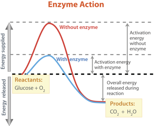 Enzyme drawing activation energy. How enzymes speed up
