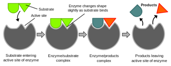 Enzyme drawing labeled. Induced fit model definition