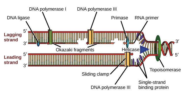 Enzyme drawing labelled diagram. Molecular mechanism of dna