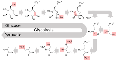 Enzyme drawing specific. Wikipedia metabolism