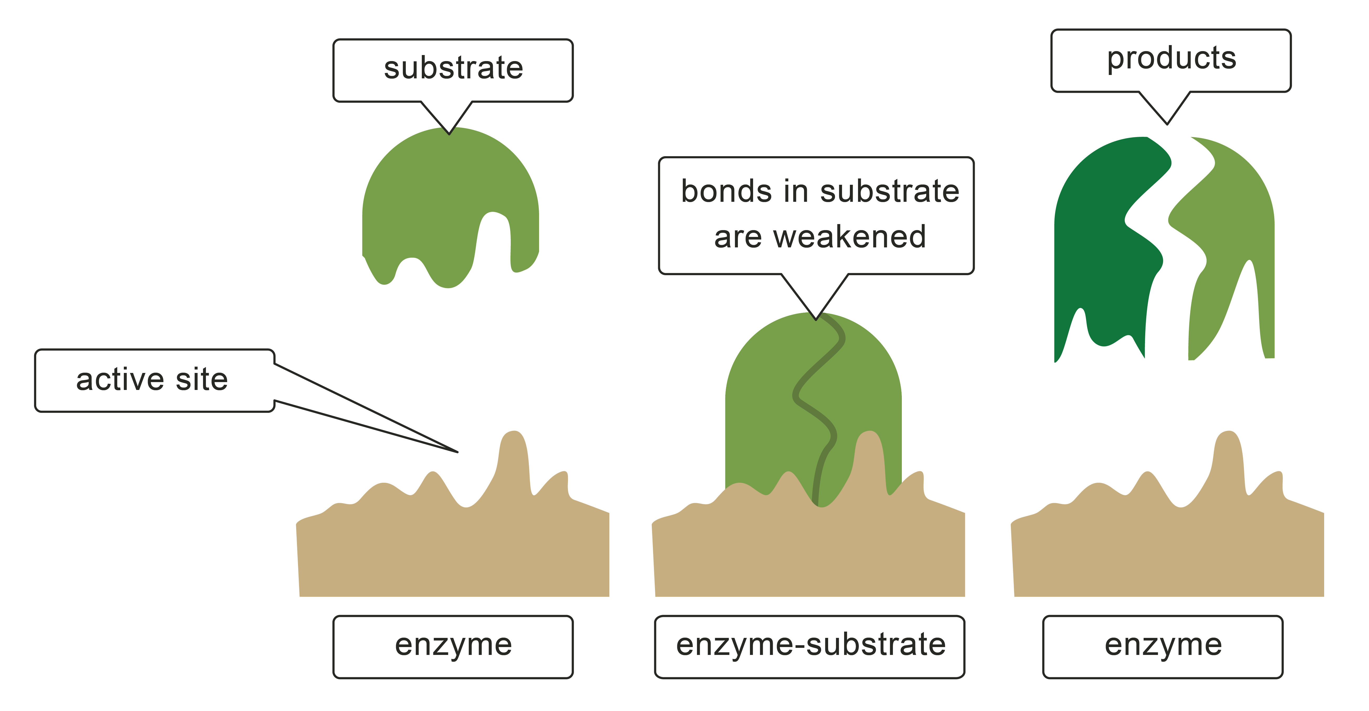 Enzyme drawing protein. Biology worksheets on enzymes