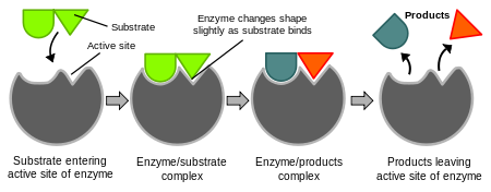 Enzyme drawing science. Simple english wikipedia the
