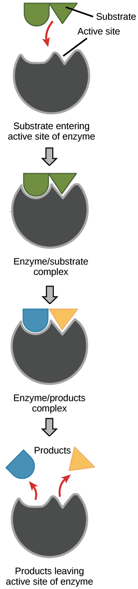 enzyme drawing schematic model