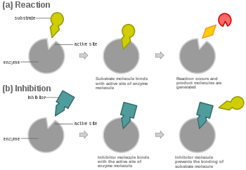 Enzyme drawing substrate. Competitive inhibition wikipedia