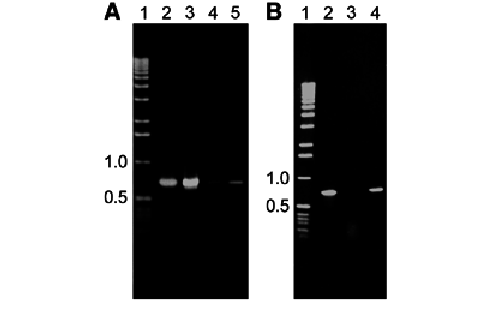 Episomal vector pepi. Pcr analysis from dna