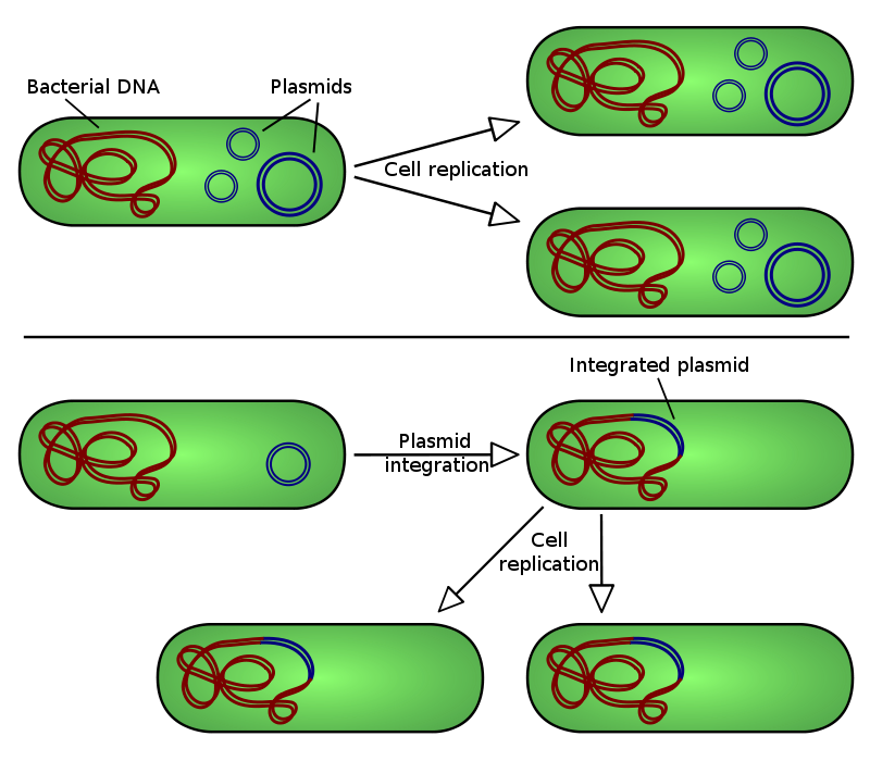 Episomal vector pepi. Plasmid wikiwand there are