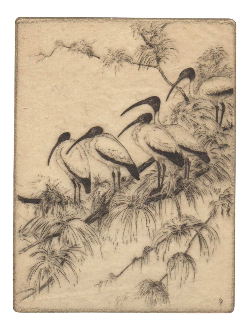 Etching drawing bird. Wood ibis by manfred