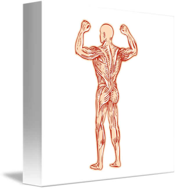Etching drawing body. Human muscular system anatomy