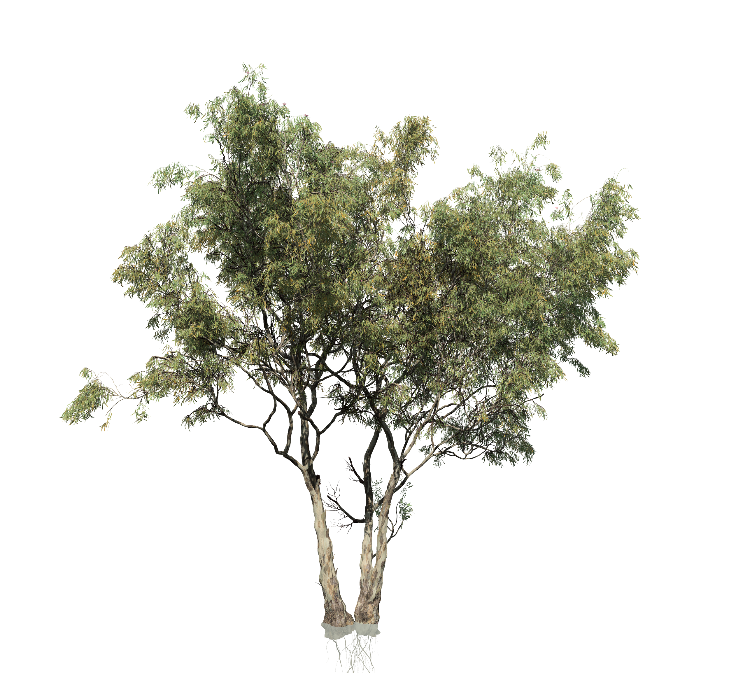 Eucalyptus tree png. Red gum forest multi