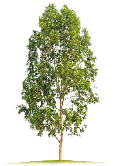 Eucalyptus tree png. Index of images v