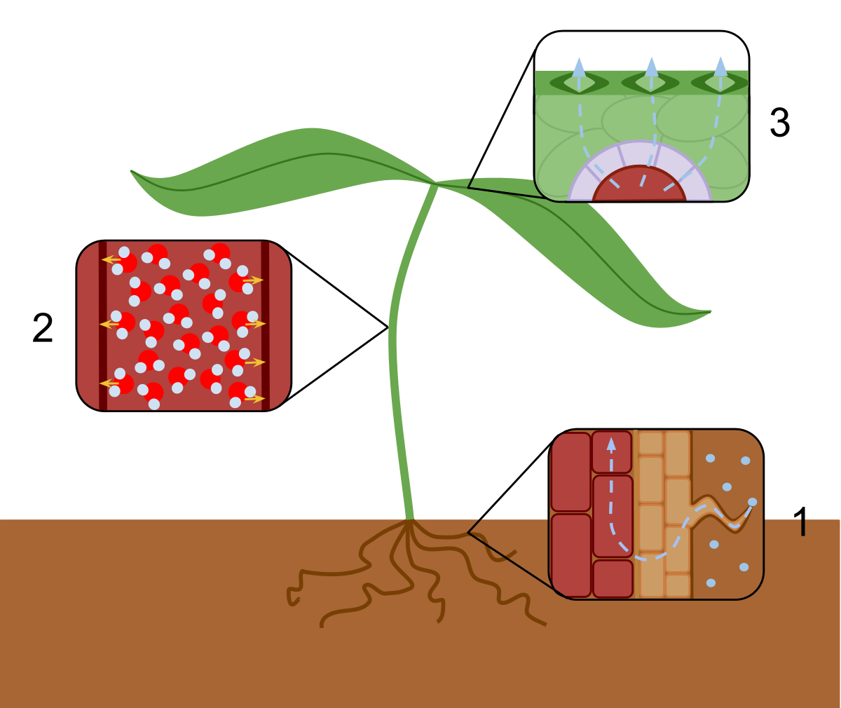 Evaporation drawing environmental science. Transpiration wikipedia