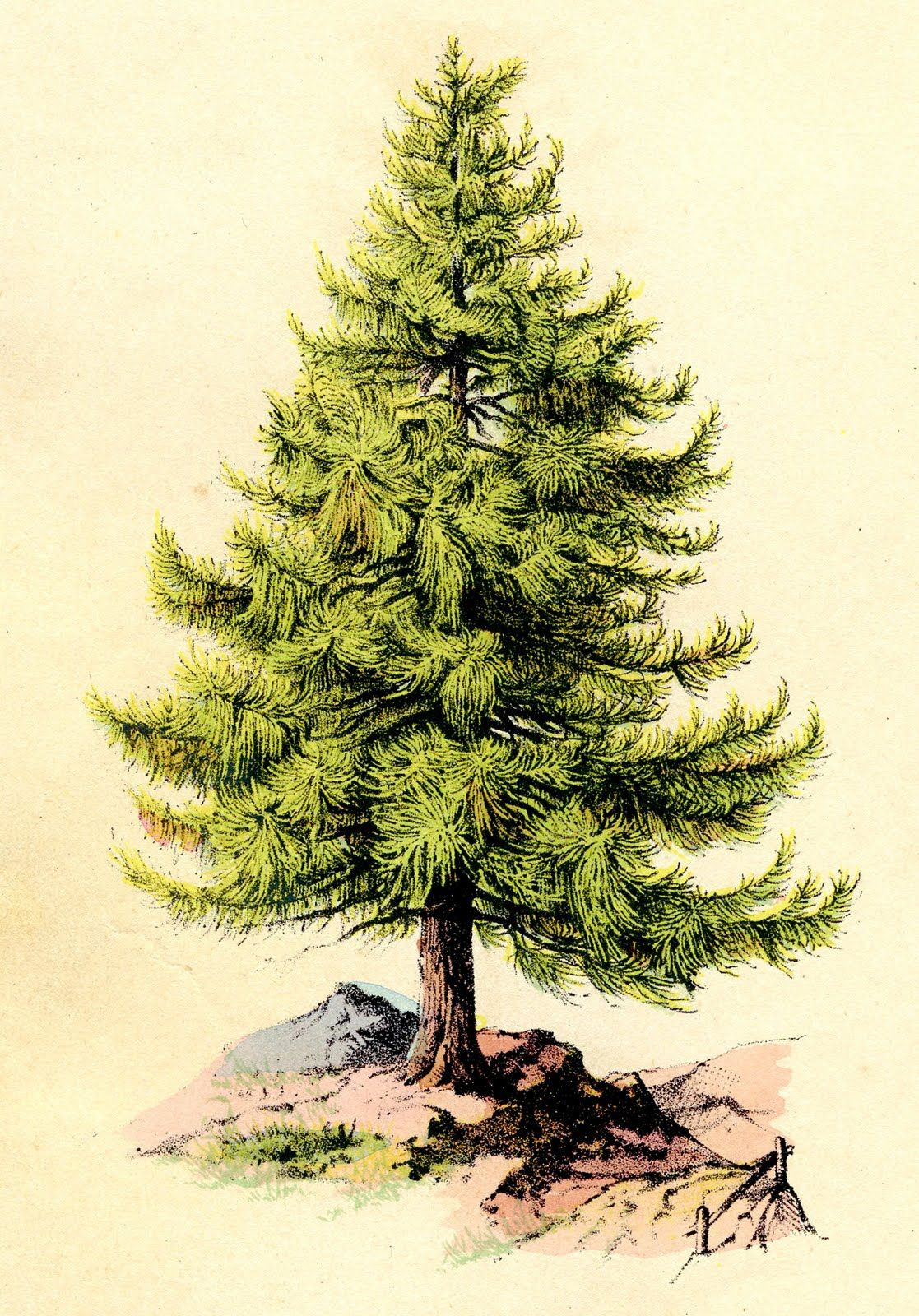 Evergreen clipart deodar tree. Vintage clip art perfect