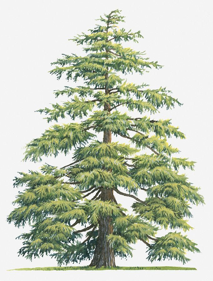Evergreen clipart deodar tree. Illustration of cedrus deodara