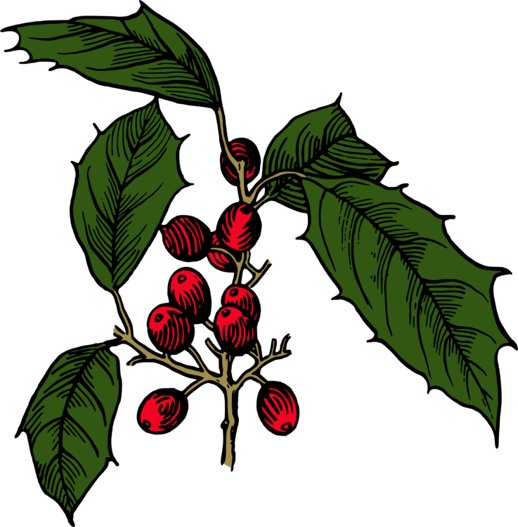 Holly branch png. Shrub evergreen tree free