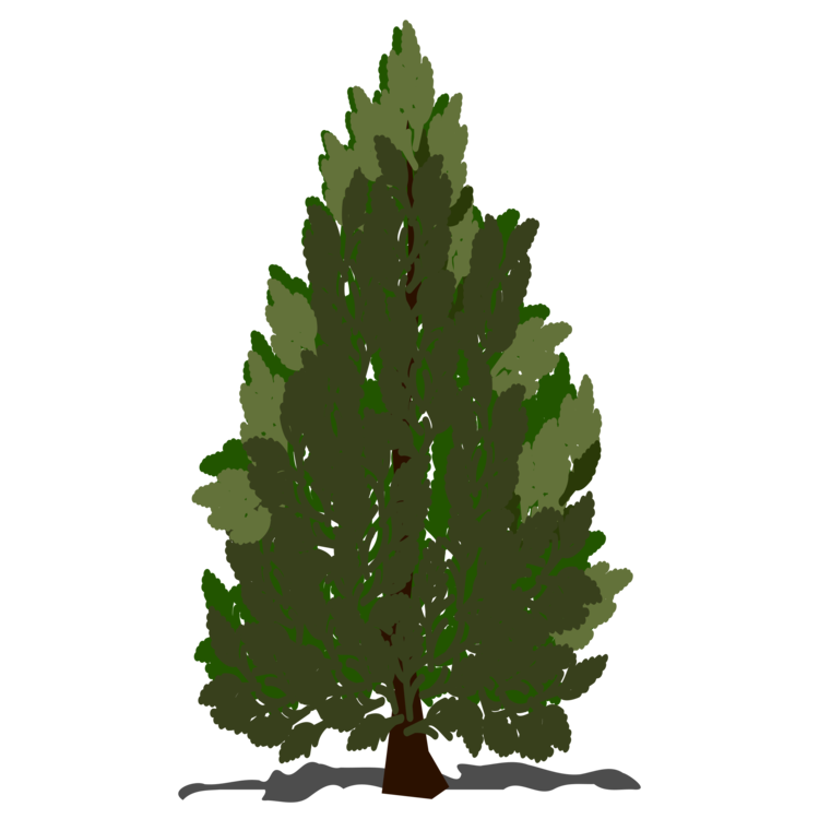 Pine clipart coniferous tree. Christmas drawing conifer cone