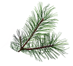 Evergreen clipart pine sprig. Branch to incorporate into