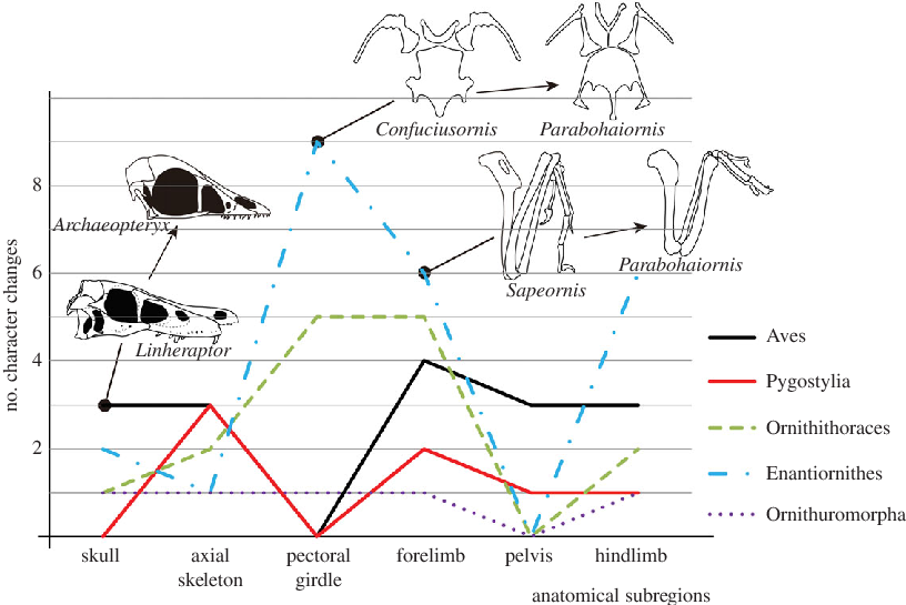 Evolution transparent early. Morphological character changes during