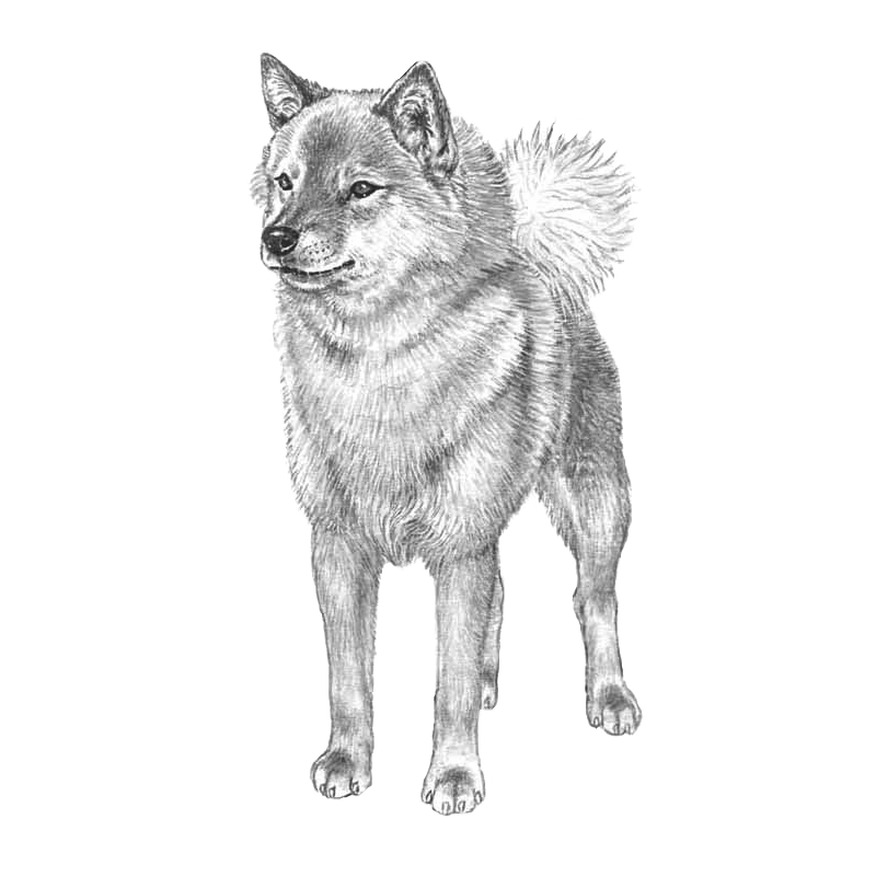 Expert drawing husky. Finnish spitz pedigreed breeds