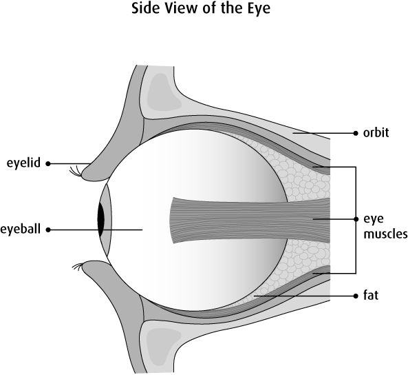 Eye muscle png. The eyes canadian cancer