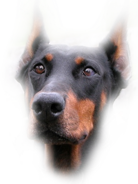 Doberman vector clip art. Graphics misteddobermanpng