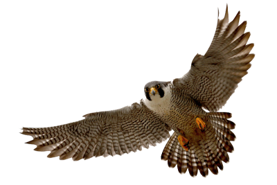Vector hawks peregrine falcon. Lovekittens png dlpng clipart
