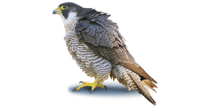 Falcon clipart coloring page. Peregrine soaring free