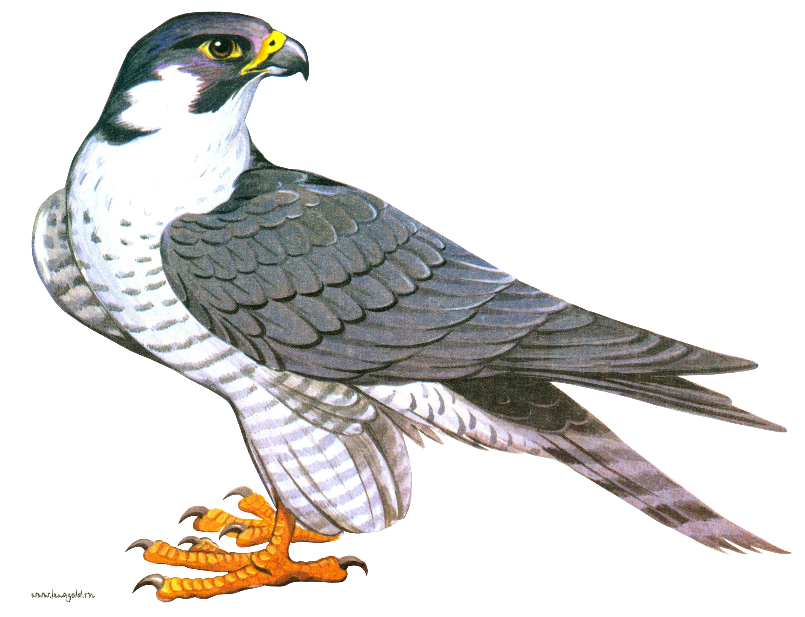 Falcon clipart transparent. Icon web icons png