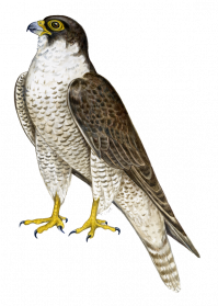 Falcon clipart transparent. Png images free download