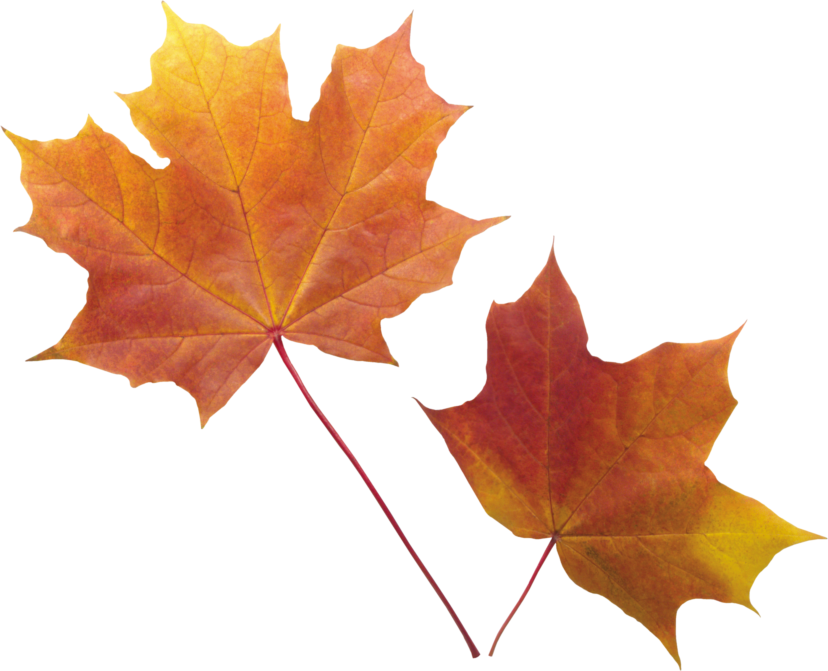 Fall background png. Autumn leaf image purepng