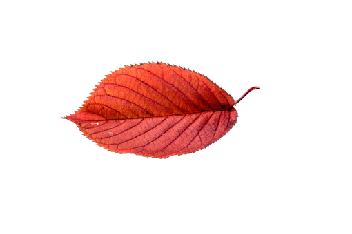 Fall leaf .png. Autumn leaves png pinterest