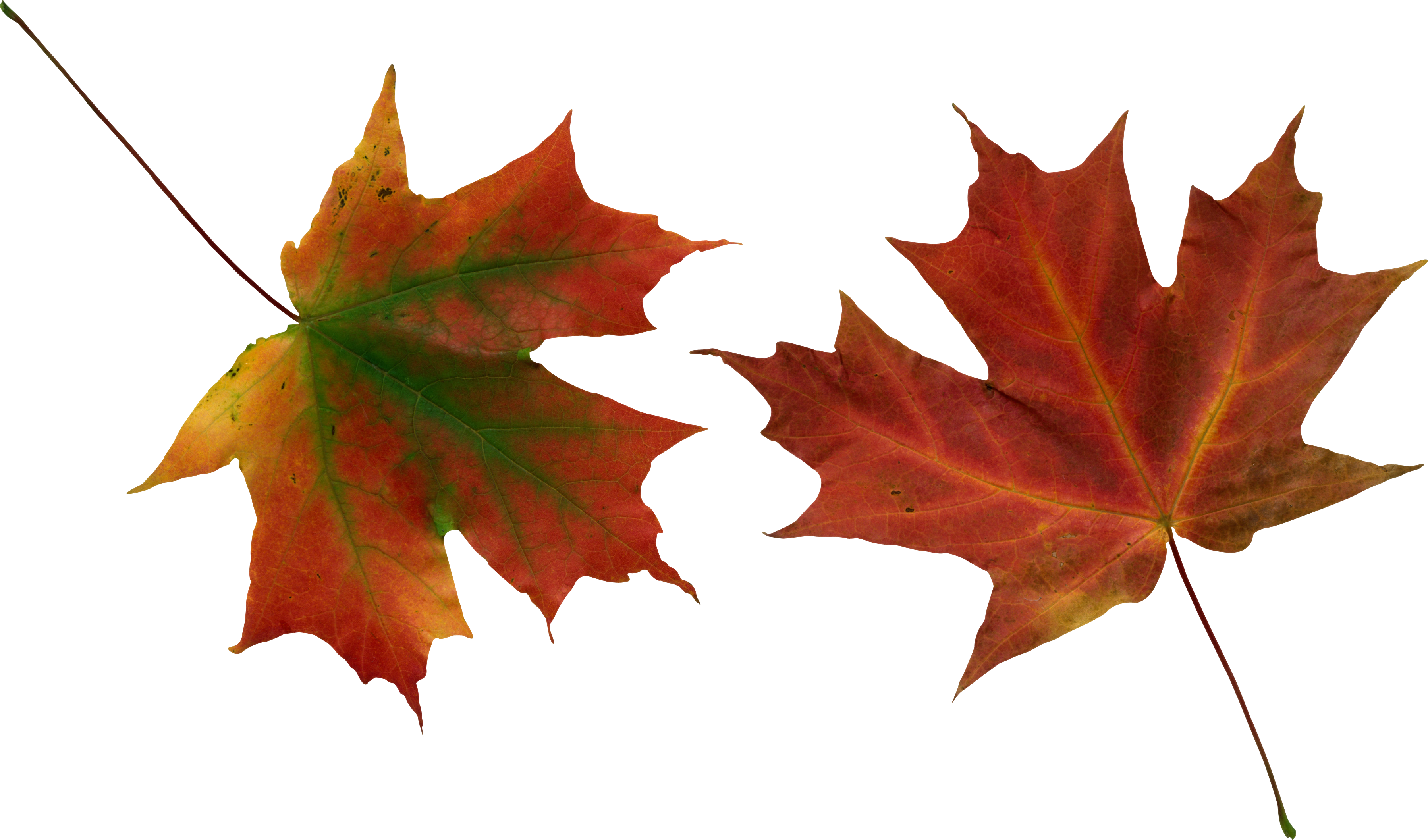 Fall leaf vector png. Pin by hopeless on