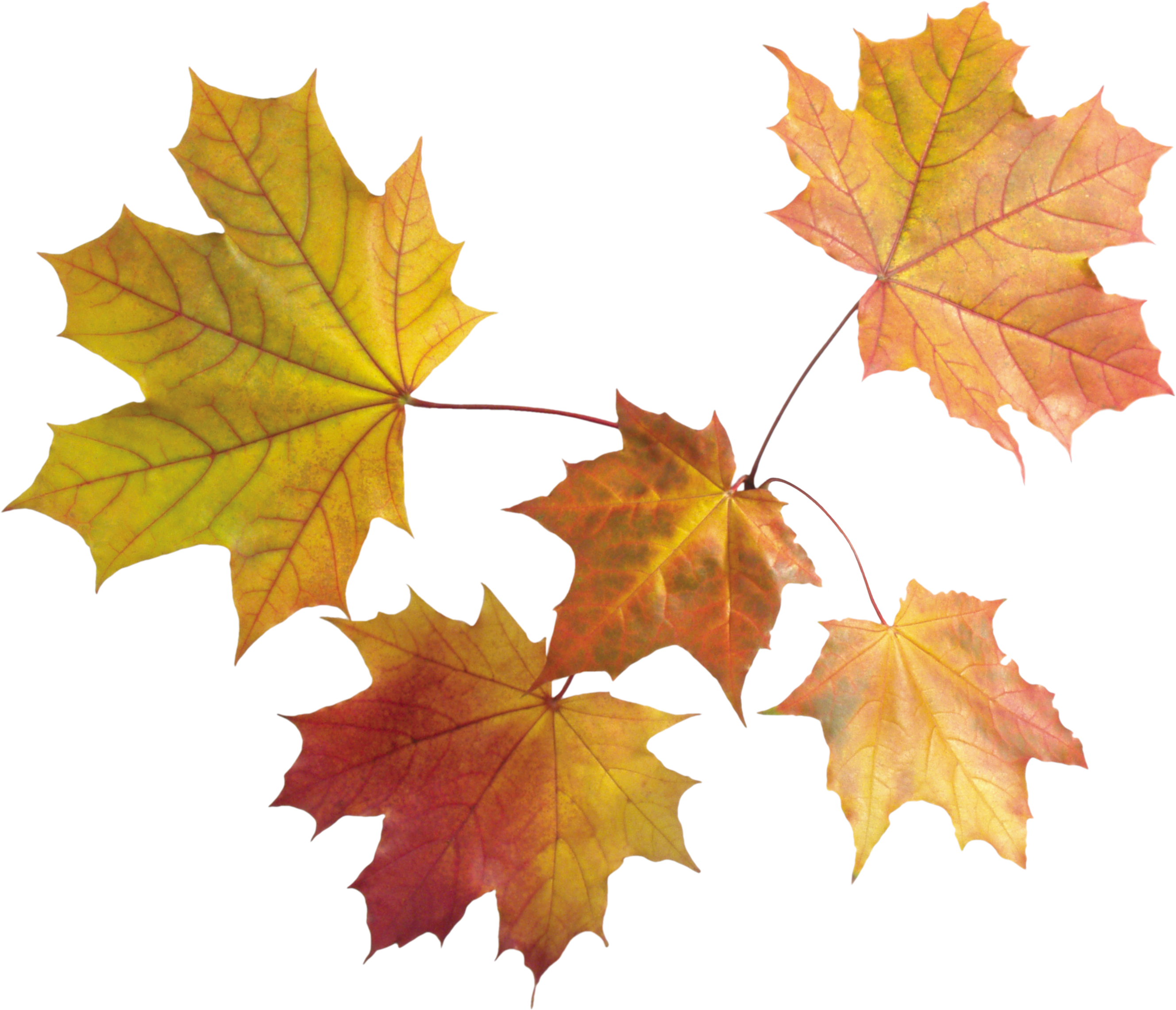 Acorn transparent autumn leave. Leaves png images free