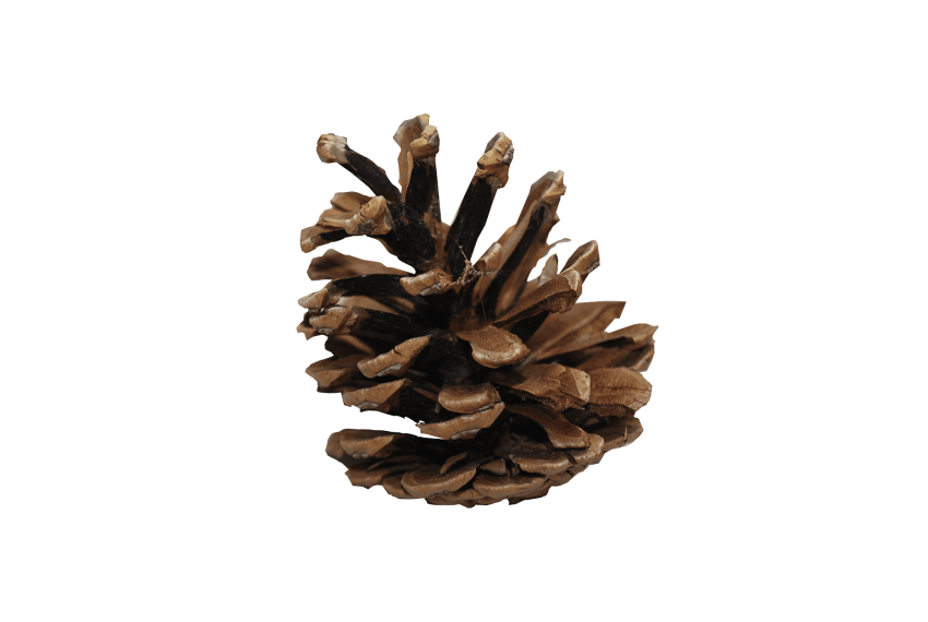Fall pine cones png. Cone free images toppng