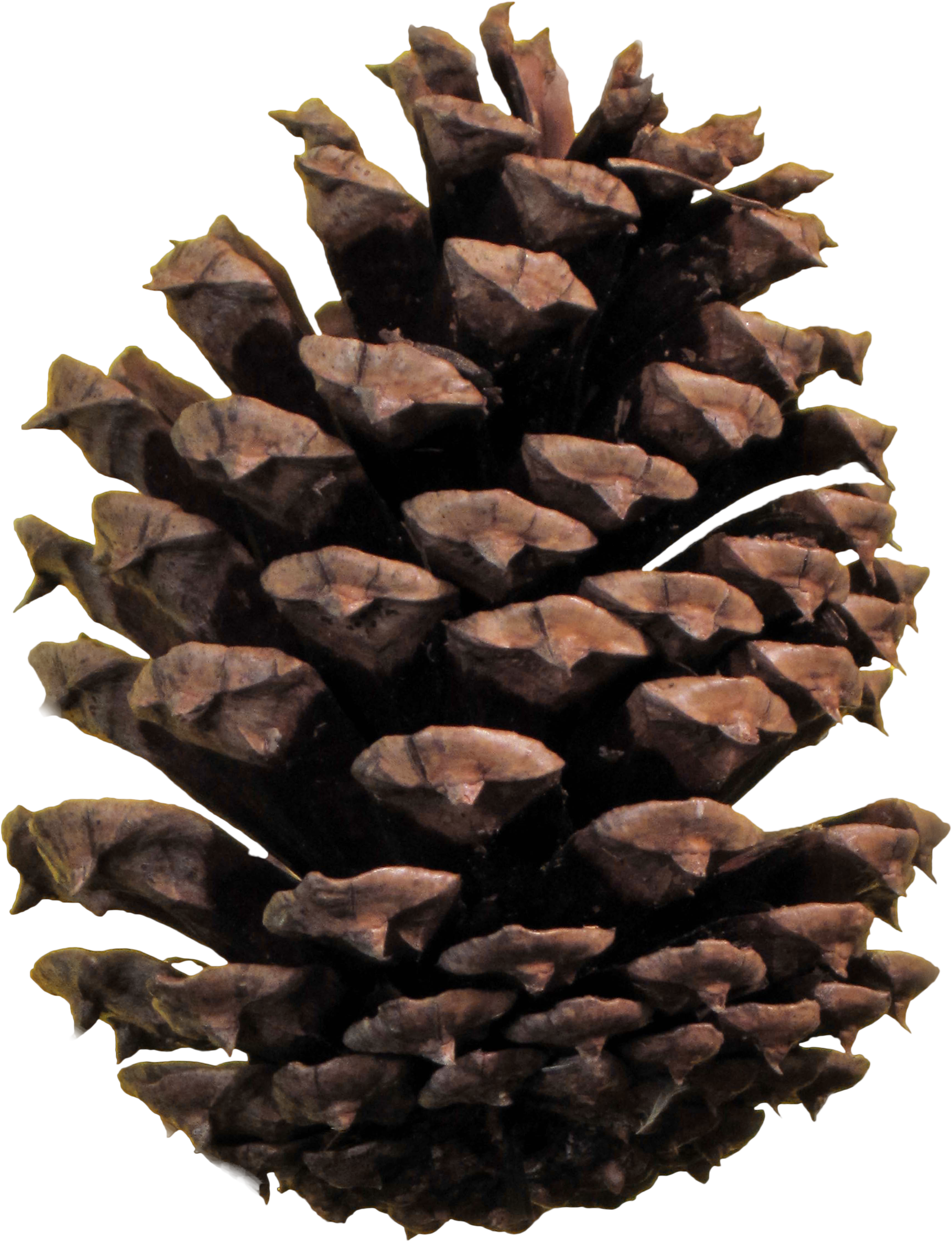 Fall pine cones png. Cone image purepng free