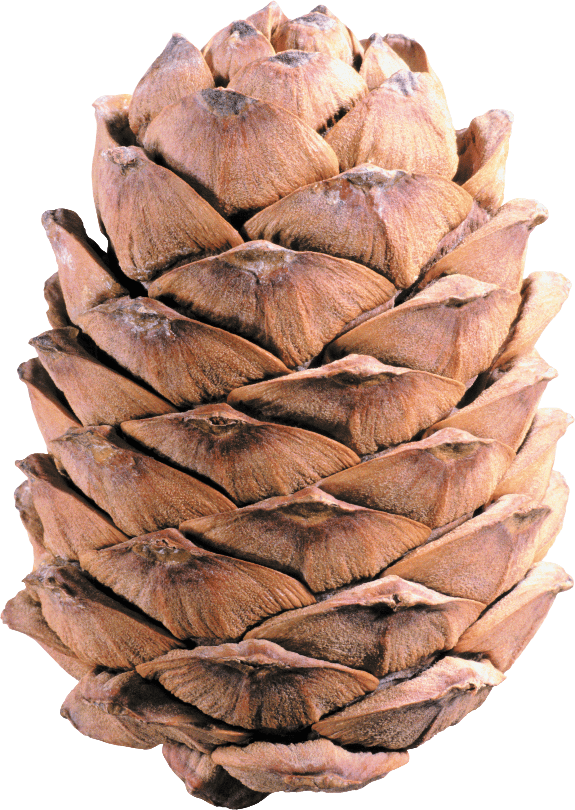 Fall pine cones png. Light brown cone transparent