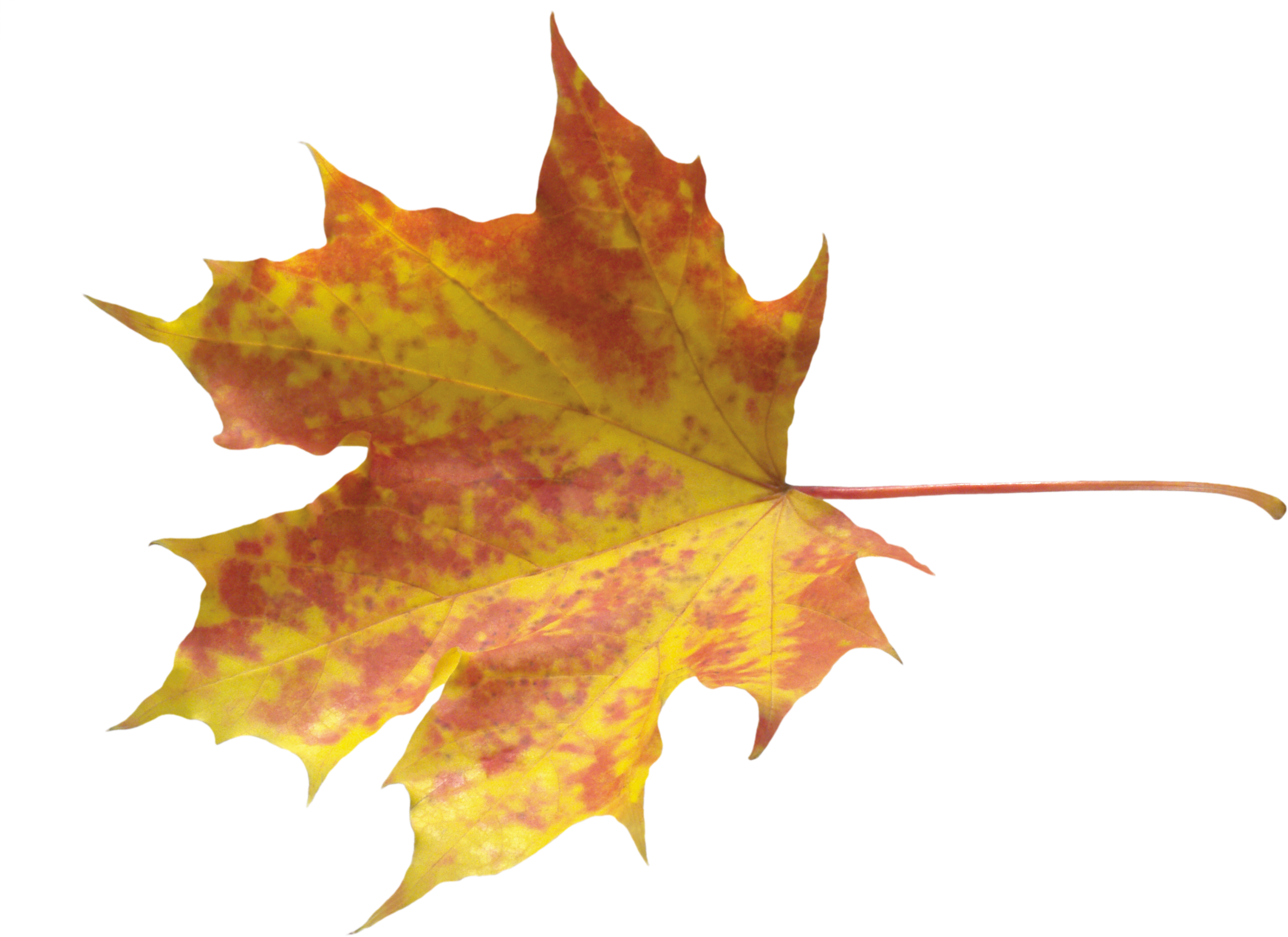 Transparent photography leaf. Yellow leaves png image