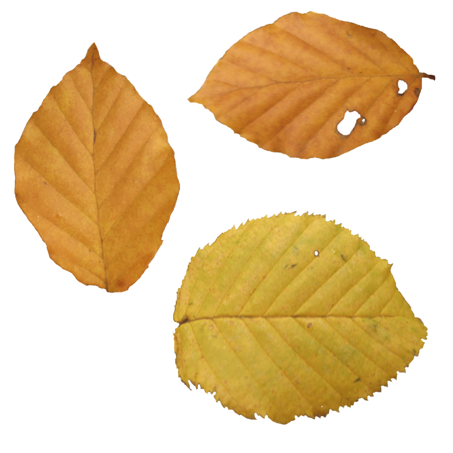 Falling autumn leaves png. Images free yellow pictures
