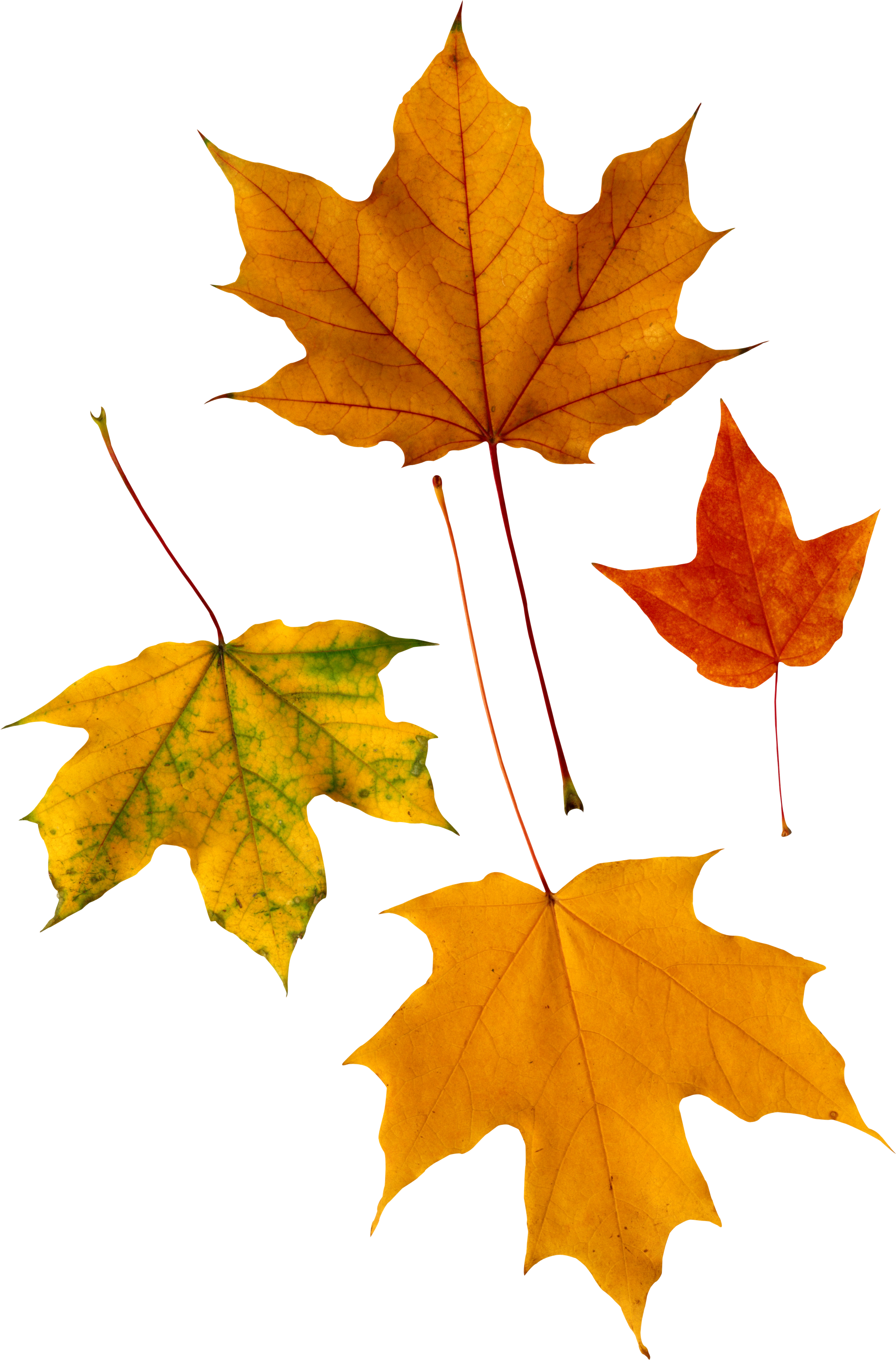 Falling leaves png images. Autumn free yellow pictures