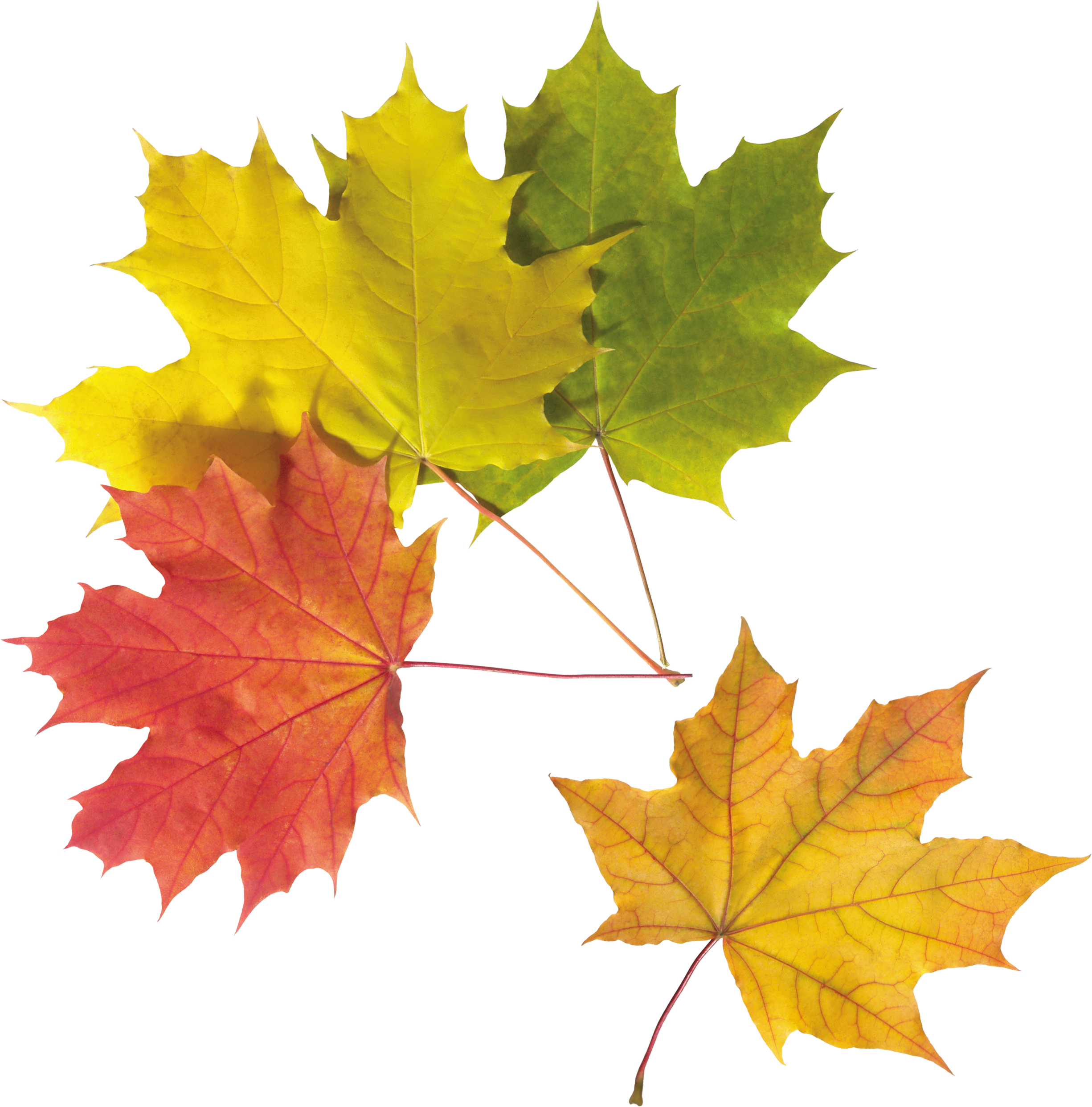 Leaf png. Autumn leaves images free