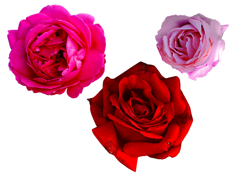 Png roses. Red rose petals isolated