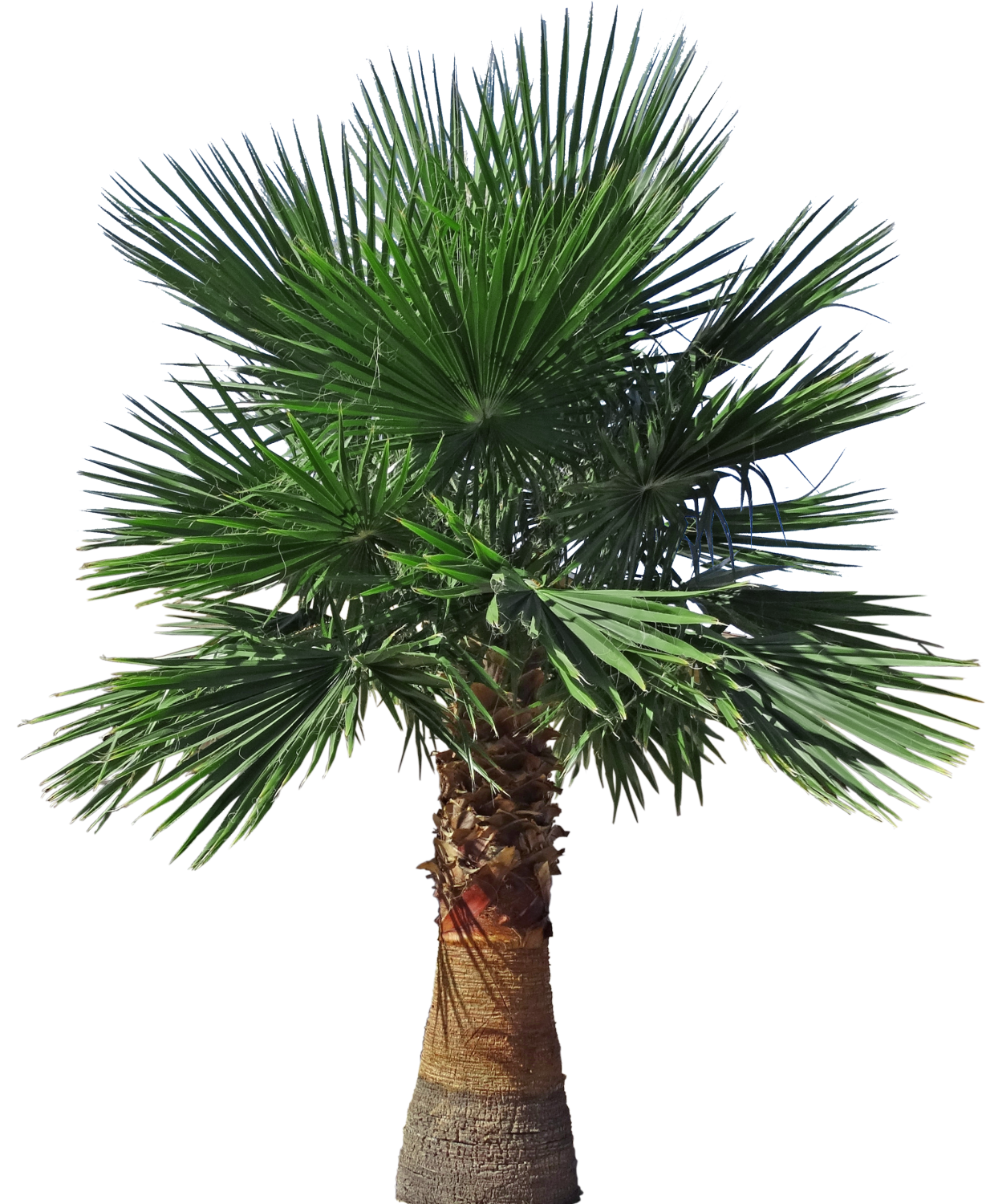 Pigmy palm png. Backyard builder mexican fan